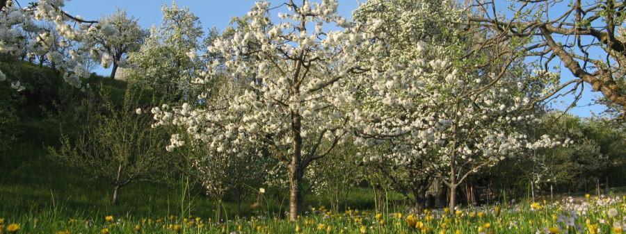blühender Kirschbaum im Biosphärengebiet
